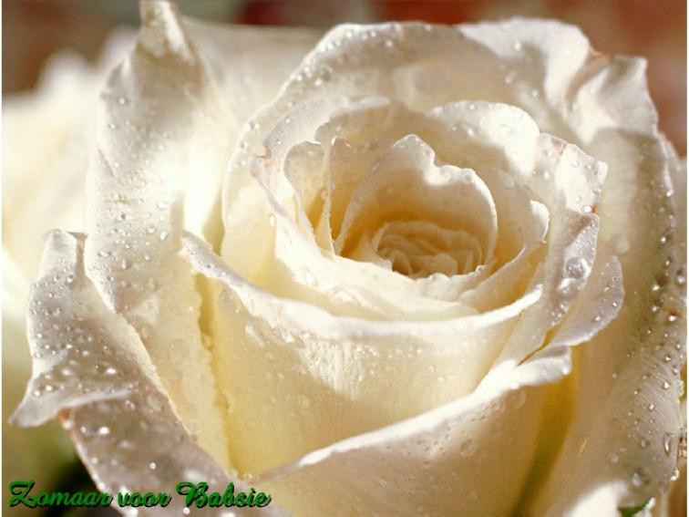 white rose babs